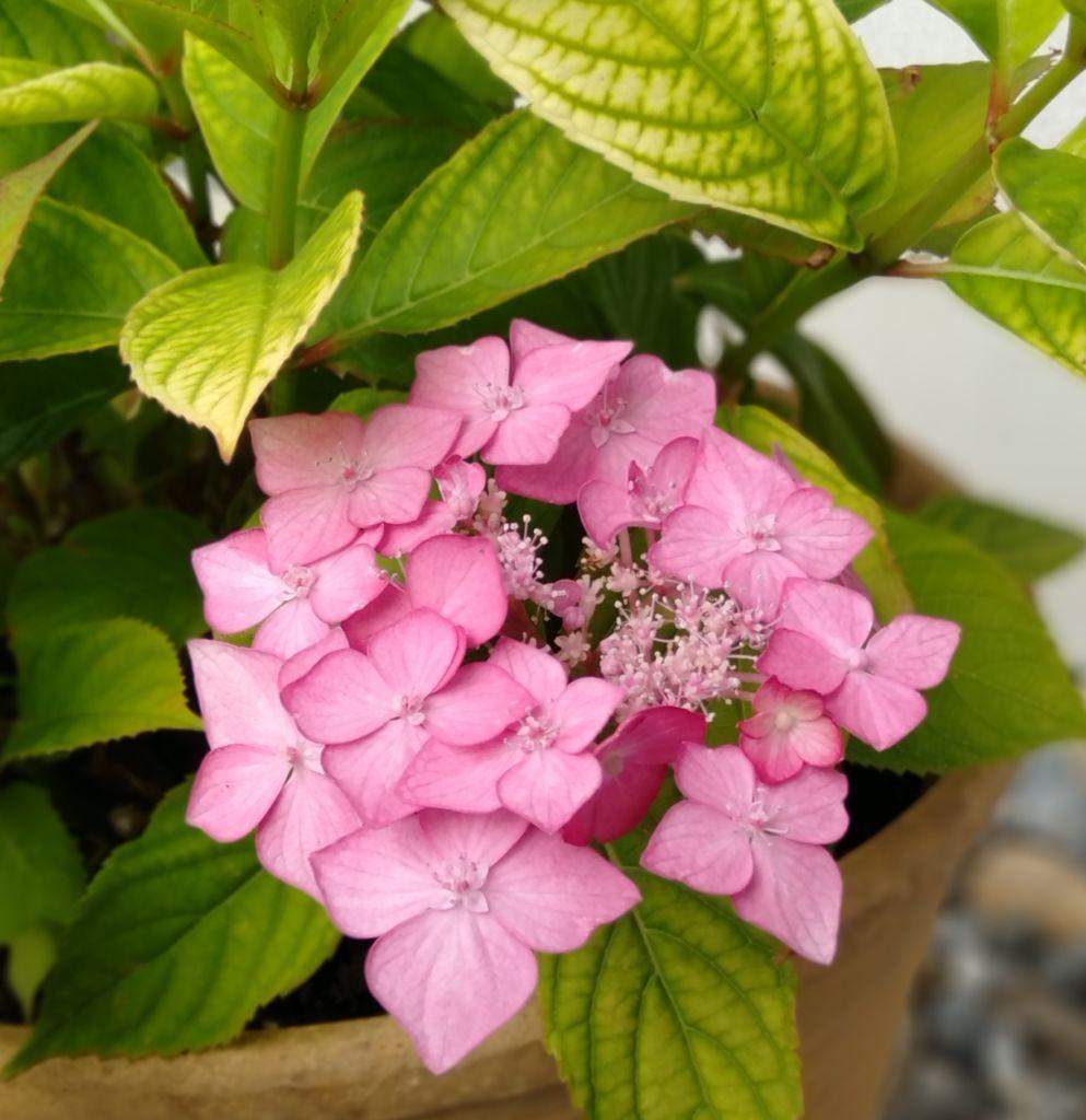 ピンク色の紫陽花 琴教室 安城市からも便利