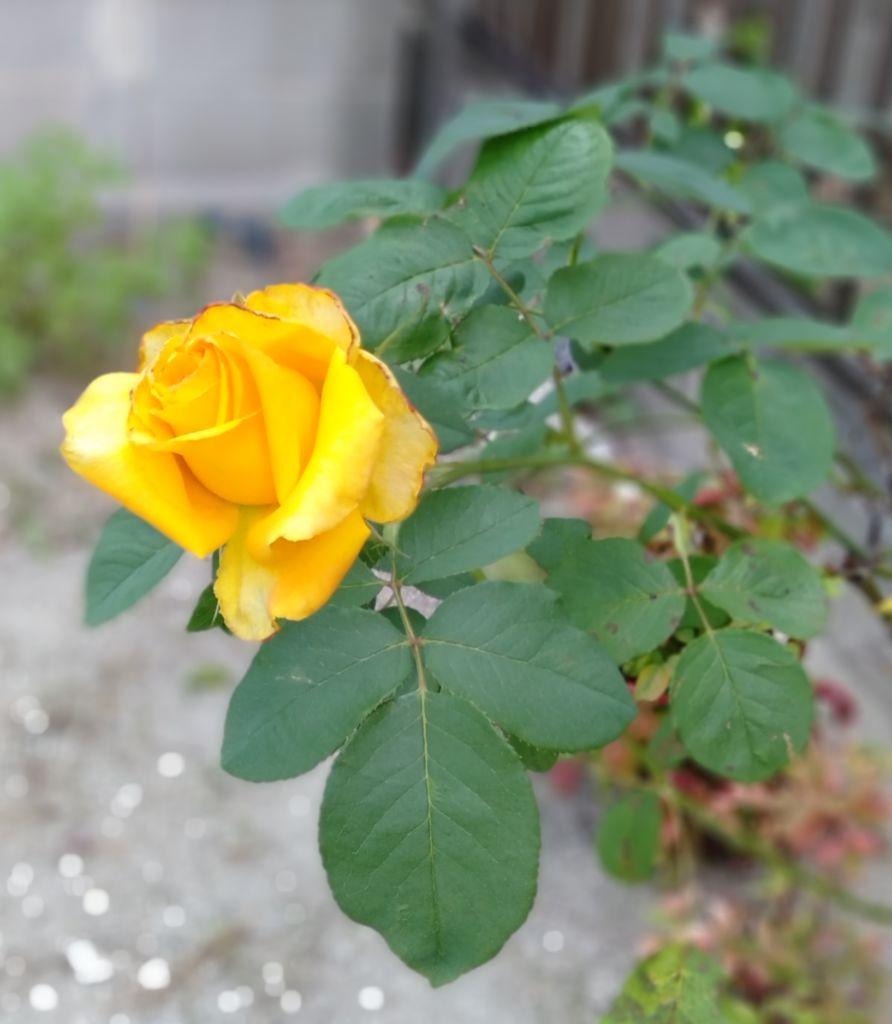 初咲きの薔薇 琴教室 岡崎市